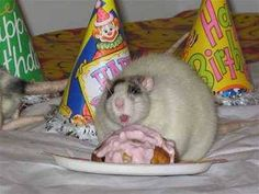 Hamsters, Rodents, Funny Rats, Cute Rats, Remy The Rat, Dumbo Rat, Cute Mouse, Cute Little Animals, New Puppy