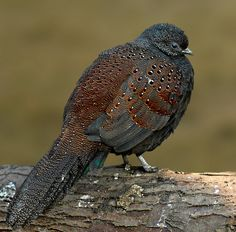 Here's one I want but have never seen feathers of.  Bronze-tailed peacock pheasant
