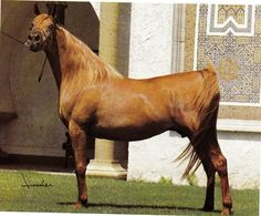 Norra, (Morafic x Bint Mona) full sister to The Egyptian Prince) out of Mouna EAO out of Moniet el Nefous EAO.