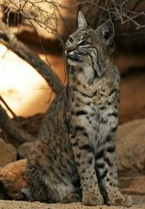 Razzy The Young Princess Of The House She Is A Domesticated Bobcat She