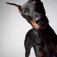 The Doberman Inquisition….I get this look every day when I ask my dog if he is ready for his walk!!!