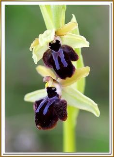 Ophrys sphegodes - Wild orchid - Orquídea de la pasión - Early Spider Orchid by ferran pestaña