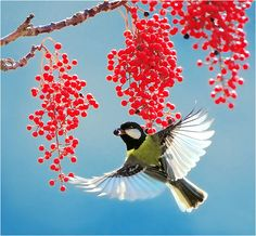 Amazing photography Cedar Waxwing going for the berries
