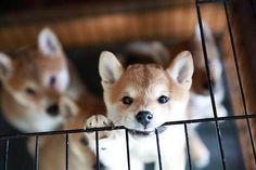 柴犬が世界中で愛される30の理由