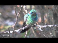 Beija-flor-de-orelha-violeta(Colibri serrirostris) Filmado por Claudio Greco - YouTube