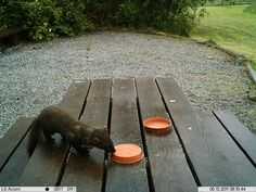 Pine Maarten checking out what is available on the holiday makers table. Taken in Scotland by Neil Burke