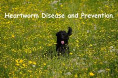 Heartworm Disease and Prevention #health #petcare #dog #cat Dog Clinic, Hanging Bird Cage, Dog Rates, Drinking Fountain, Pet Dogs, Pets, Happy New Year Everyone, Love Your Pet, Black Bear