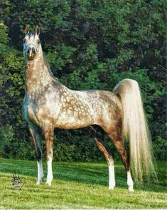 Read Arabians from the story Horse Breeds by (please leave) with reads. Beautiful Arabian Horses, Most Beautiful Horses, Majestic Horse, All The Pretty Horses, Animals Beautiful, Horse Photos, Horse Pictures, Horse Photography, Horse Love
