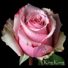 Hybrid Tea Rose - King Kong (King Kong is alive! Yellow Roses, White Roses, Pink Roses, Love Rose, Pretty Flowers, Send Flowers, Bed Of Roses, Ronsard Rose, Online Florist