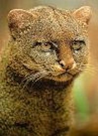 The Jaguarundi or Otter Cat, a wild cat, has a range from southern Texas and Central America, and throughout South America east of the Andes;  however it has become almost extinct in Texas and Central America from fast-growing human population.  It is endangered in South America.  Unlike other cats, they chirp and whistle to communicate with one another.