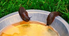 Beer slug traps have been reported to kill slugs. Find out how to get rid of slugs with beer and which beer works best? Watch an action video. Mason Jar Herbs, Mason Jar Herb Garden, Beer Garden, Gardening For Beginners, Gardening Tips, Slug Trap, Potager Palettes, Getting Rid Of Slugs, Garden Pests