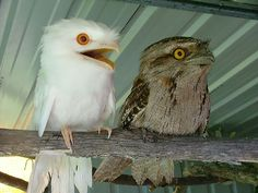 Tawny Frogmouth we have the birds on the right I hazzard a guess that the white one is a fairly rare albino Frogmouth