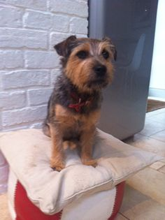 Meet 1yr old Maisie.    She's a scruffy Norfolk terrier crossed with Patterdale terrier and lives in Oxfordshire with her family. Her greatest loves in life are having her tummy rubbed, sleeping in her gingham bed and playing with her friends Bella who is 5 andOscar 3.    Maisie...you are PEDLARS' DOG OF THE WEEK!