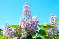 How to grow lilacs By Val Bourne