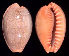 Erronea chinensis somaliana - Google Search