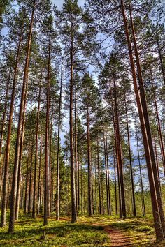 🇫🇮 Forest lane (Seitseminen National Park, Finland) by Jarkko cr. Reverse Image Search, Magic Forest, Forests, Finland, Greenery, Trail, National Parks, Country Roads, Europe