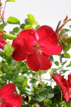 1000 images about les rosiers on pinterest roses rouge for Rosier grimpant vesuvia