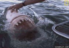 Gruesome Shark Attack | shark attacks boat - shark gifs