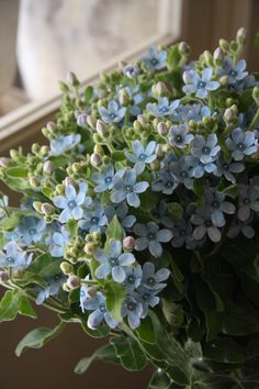 Oxypetalum 'Blue star' - fleurs tremolo