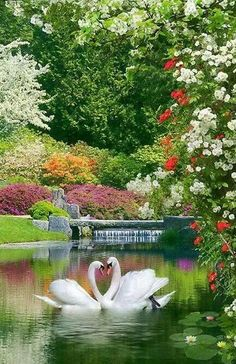 Swans in a garden lake