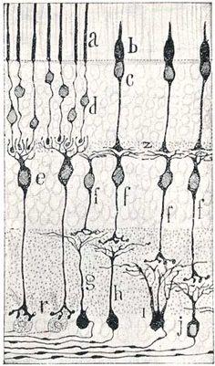 a: bastones y b: conos, Ramón y Cajal