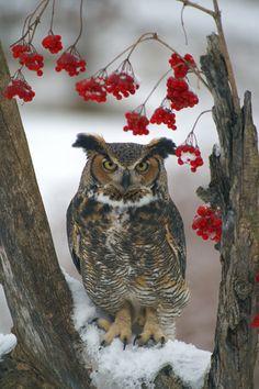 Great Horned Owl III by Naarah on deviantART