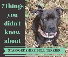 7 things you didn't know about the #StaffordshireBullTerrier https://buff.ly/2A2xll6?utm_content=bufferea446&utm_medium=social&utm_source=pinterest.com&utm_campaign=buffer #tbt #throwback @Staffie_Lovers #AdoptDontShop