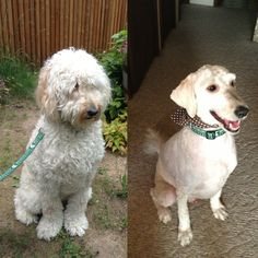 Goldendoodle Before & After Haircut! :D