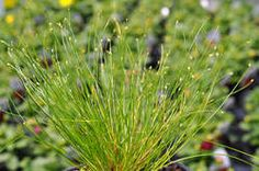 Dwarf Fiber Optic Grass is an attractive grass-like rush with extremely fine leaves that grow in dense tufts. Patio Planters, Plant Catalogs, Foliage Plants, Ornamental Grasses, Fiber Optic, Dwarf, Stems, More Photos, Garden Plants