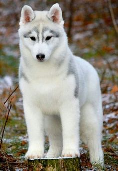 Wonderful All About The Siberian Husky Ideas. Prodigious All About The Siberian Husky Ideas. Cute Husky Puppies, Puppy Husky, Huskies Puppies, White Husky Puppy, Teacup Puppies, Pomeranian Puppy, All White Husky, Pets, Funny Dogs