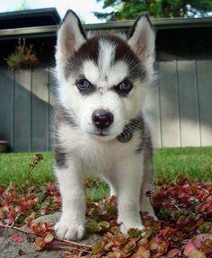 Siberian Husky pup.