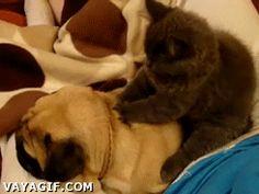 gato masaje