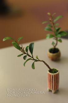 Bonsai Garden, Garden Plants, House Plants, Mame Bonsai, Indoor Bonsai Tree, Bonsai Trees, Moss Plant, Plant Fungus, Inside Plants