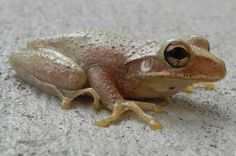 Cuban Tree Frog Photo by Melissa Ferguson -- National Geographic Your Shot