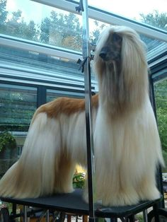 Quantum ... My afghans hounds dad