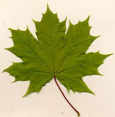 Kuvahaun tulos haulle maple leaf