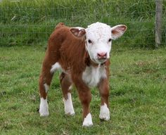 Gulliver, our first mini Hereford bull, at just one week old