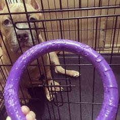 わずか数分で壊れそう😳💨#アメリカンブリー#いぬのきもち#付録#愛犬#ピットブル#americanbully#pitbull#americanpitbull#puller#dogtoy#pet#mydog#abkc#dog#puppy#dogsofinstagram#instadog#doglife#l4l#cute