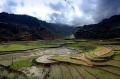 Campos de arroz, cos