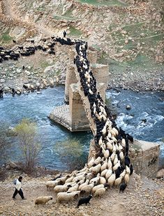 """""""Two shepherds lead Palangan's sheep out to pasture. Sheep are housed overnight throughout the village but each morning all the village's sheep are rounded up and led out into the hills as a single flock-Photograph: Amos Chapple"""""""