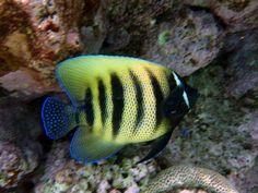 Australia - Great Barrier Reef - Flynn Reef - Butterfly fish