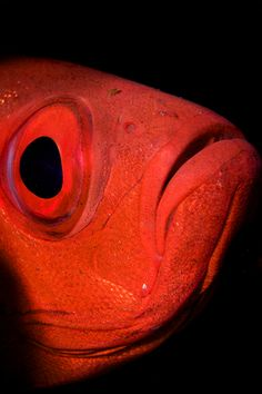 Big #Red Eye #fish #marine #reef