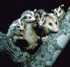 Mommy possum...I feel like this possum sometimes!!