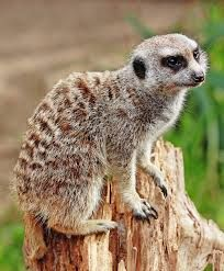 Image result for pictures of meerkats
