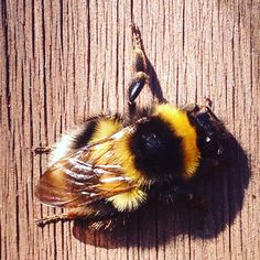 Bumble bee on my garden fence
