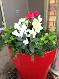 Christmas planter for the entry way! Red and white Cyclamen, 'Jacob' hellebore, red violas, and English ivy. Mulched with fresh pine greens.
