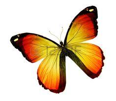 papillon: Morpho papillon orange, isolé sur blanc