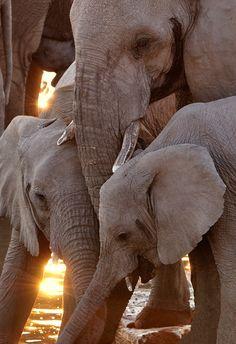 Africa | Three elephants drinking at Moringa Waterhole, Etosha National Park, Namibia at sunset. | ©David Kiene