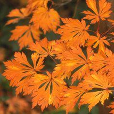 Aconitifolium Ahornbaum-Sorte mit orangenfarbenen Blättern