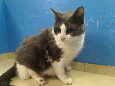 ***GONE BUT NOT FORGOTTEN*** Manhattan Center  My name is SWEETHEART. My Animal ID # is A0964092. I am a female gray and white amer sh mix. The shelter thinks I am about 5 YEARS old.